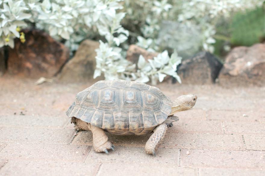 Tortoise strolling through the Desert Botanical Garden.
