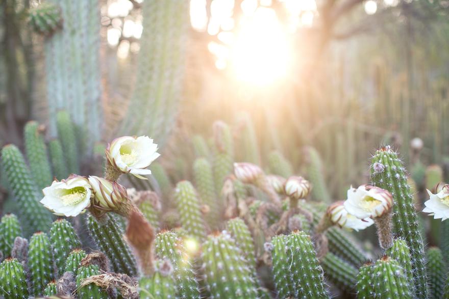 Flowering cacti at the Desert Botanical Garden.