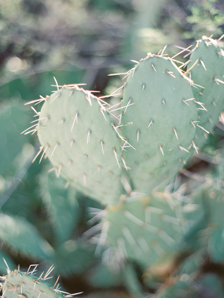 Prickly pear cactus in the desert
