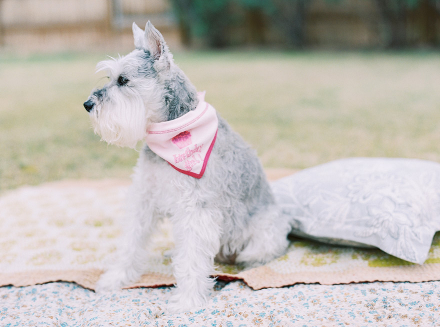 miniature schnauzer birthday