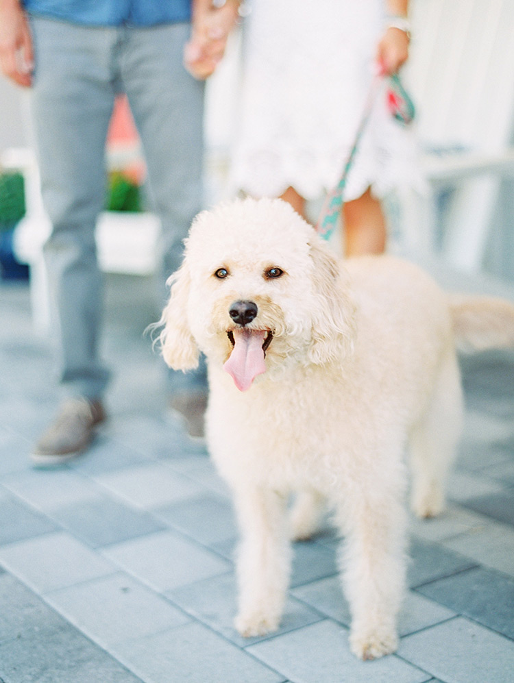 Fluffy white labradoodle