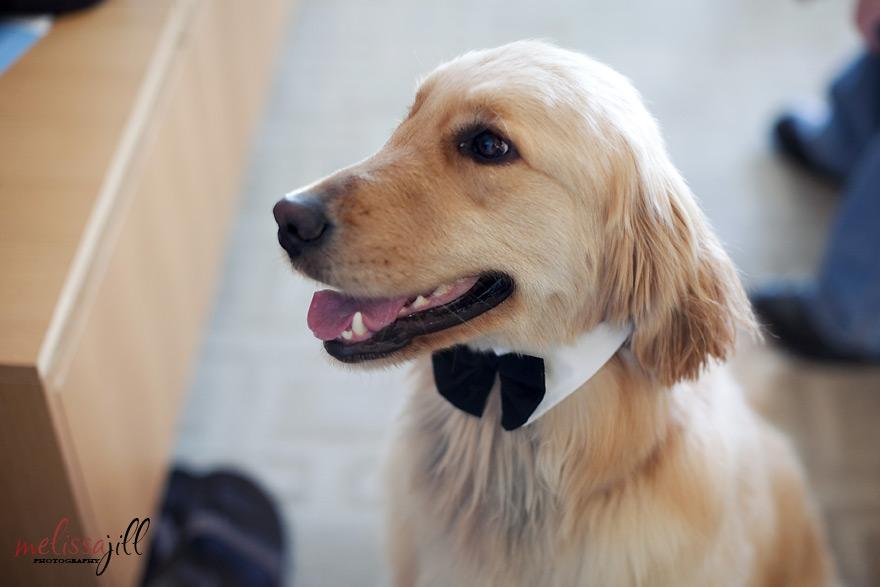 Dog Ring Bearer Gif