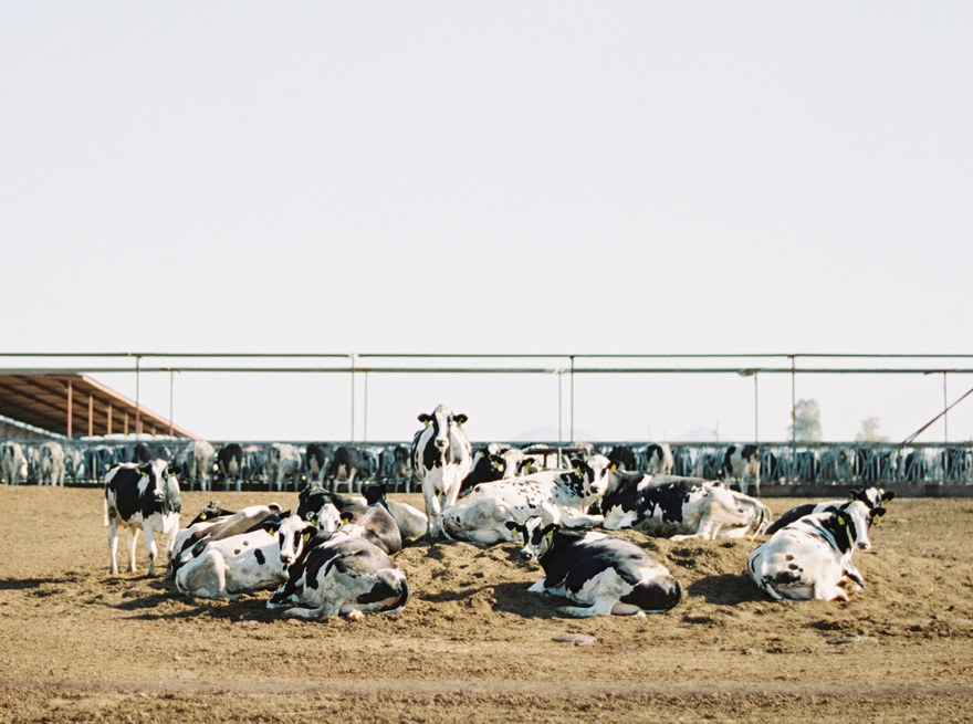 milk cows at a family dairy