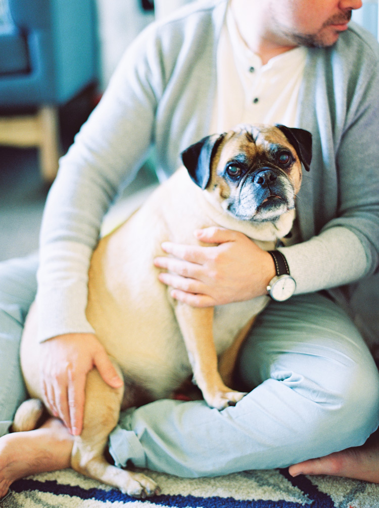 Pug dog snuggled on his owners lap.
