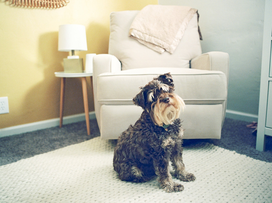 miniature schnauzer in a modern nursery