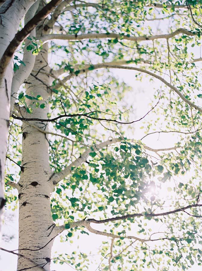 aspen trees near Flagstaff, Arizona